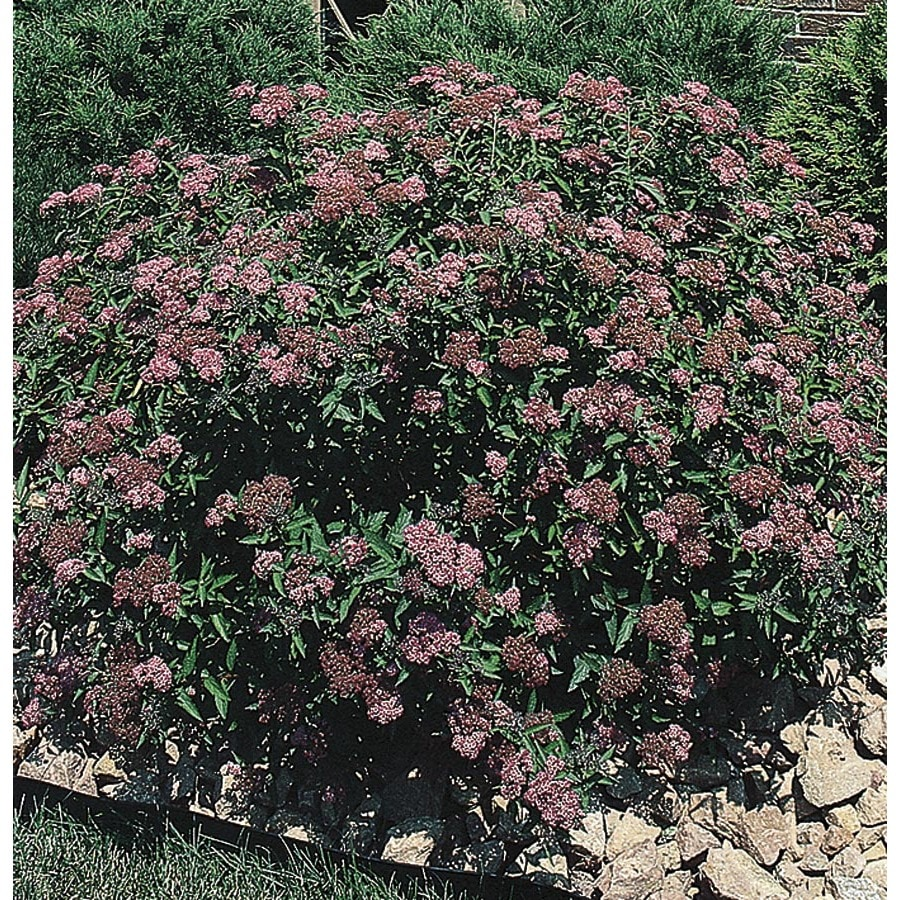 3.25-Gallon Red Anthony Waterer Spirea Flowering Shrub (L3754)
