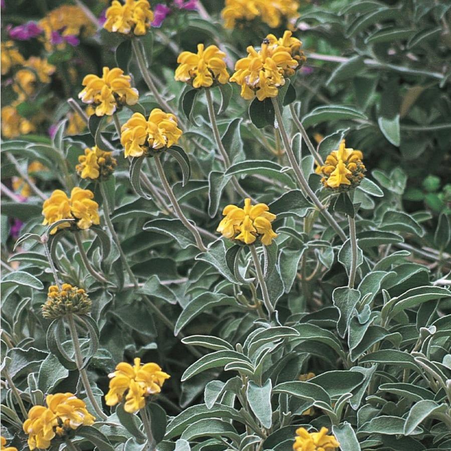 3.25-Gallon Yellow Jerusalem Sage Flowering Shrub (L22810)