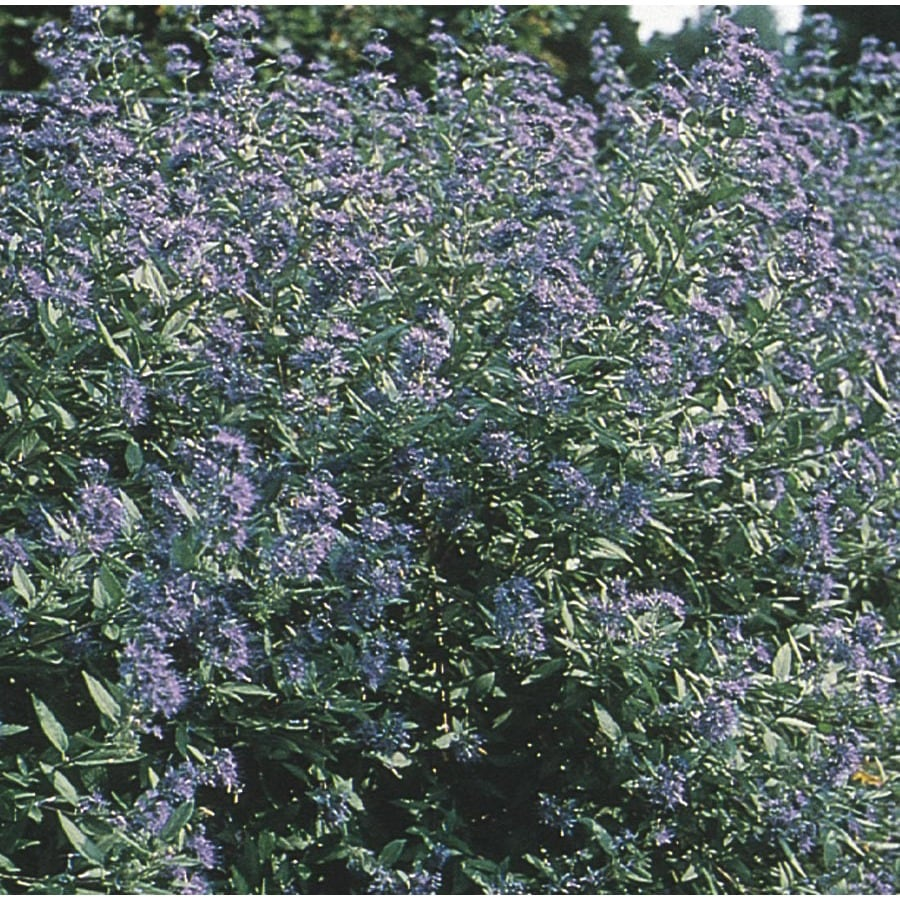 3.25-Gallon Dark Knight Caryopteris (L4670)