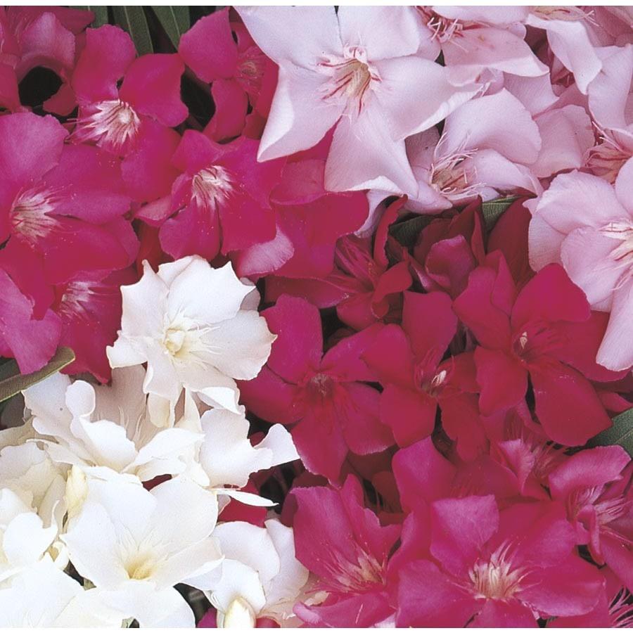 1.7-Gallon Mixed Oleander Flowering Shrub (L0056)