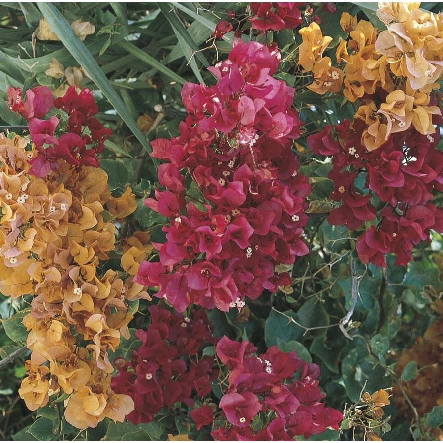 1.7-Gallon Mixed Hybrid Bougainvillea Flowering Shrub (L5710)