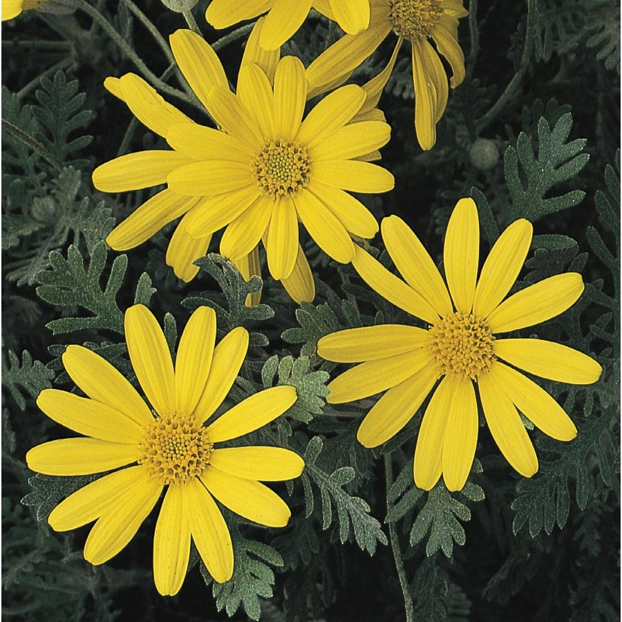 2.5-Gallon Bush Daisy (L10442)