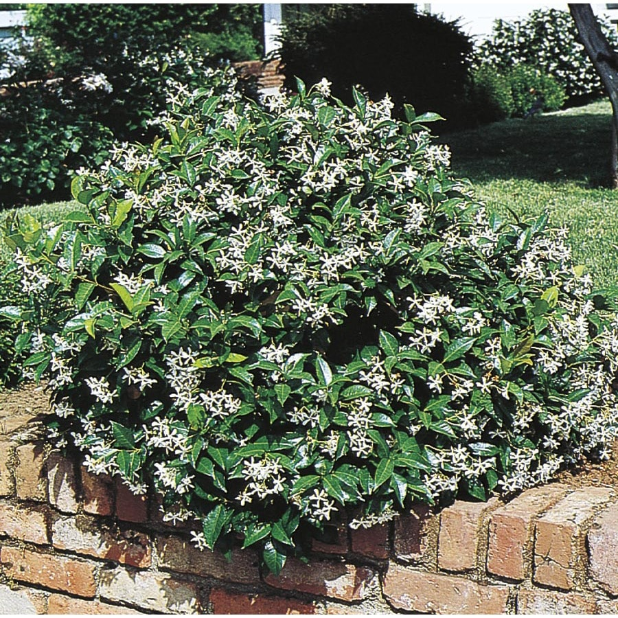 1.7-Gallon White Confederate/Star Jasmine Flowering Shrub (L9595)