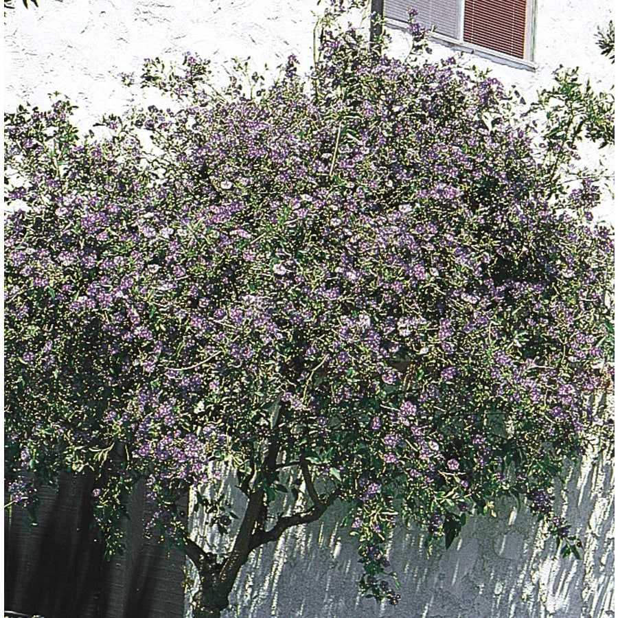 1.7-Gallon Purple Royal Robe Potato Bush Flowering Shrub (L5954)