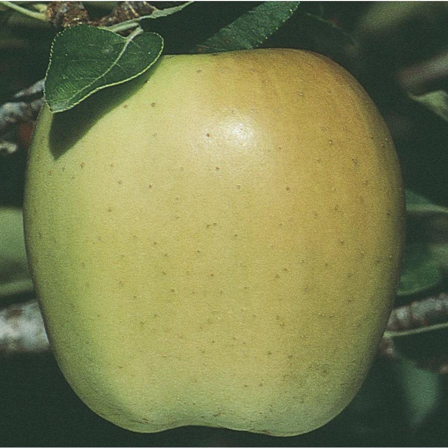 3.25-Gallon Golden Delicious Ultra-Dwarf Apple Tree (L22667)