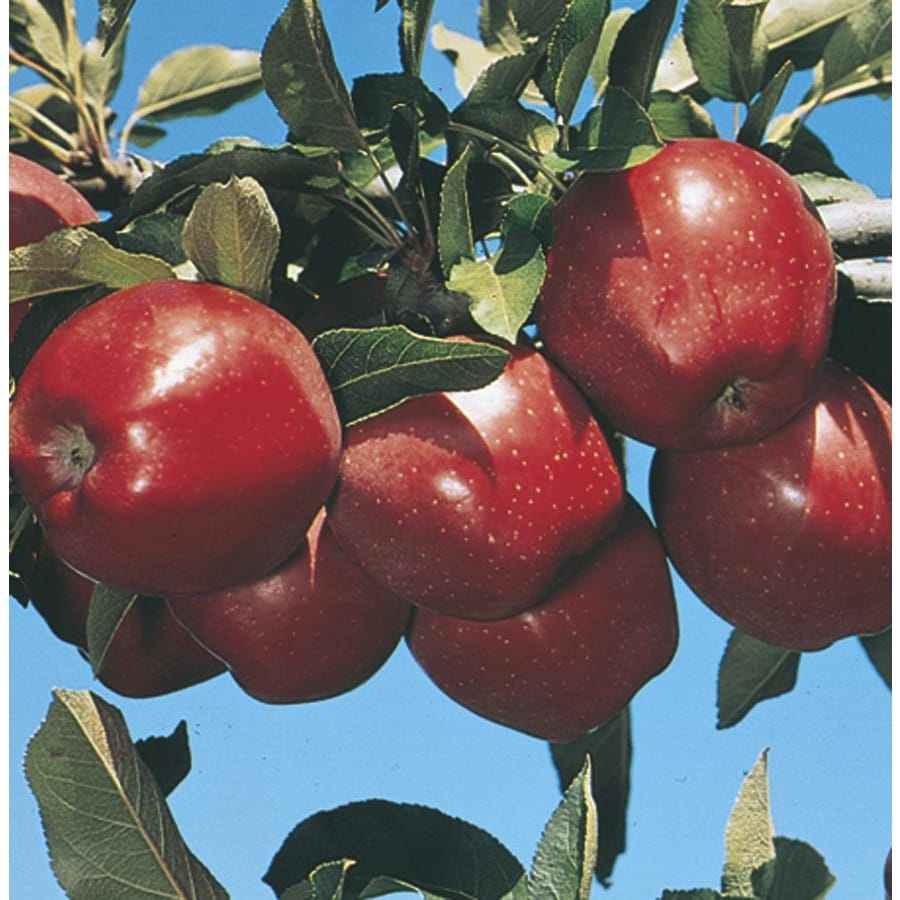3.25-Gallon Red Delicious Ultra-Dwarf Apple Tree (L22668)