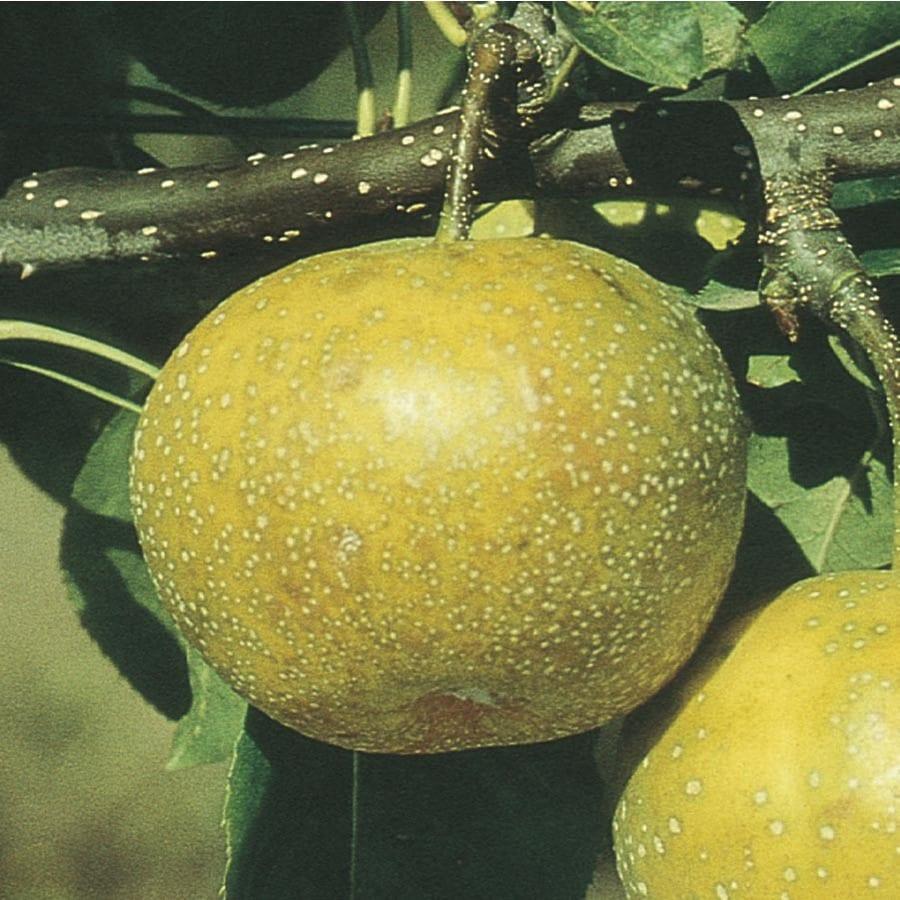 3.25-Gallon 20th Century Ultra-Dwarf Asian Pear Tree (L22685)
