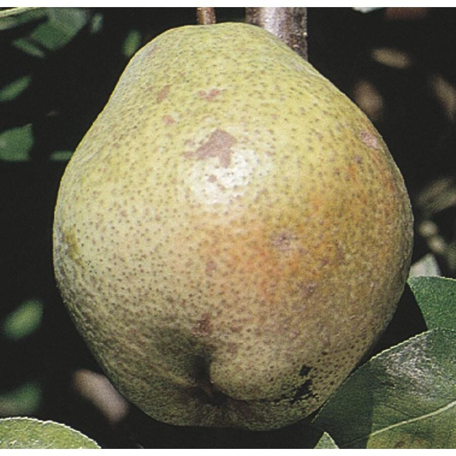 3.25-Gallon Shinseiki Ultra-Dwarf Asian Pear Tree (L22686)