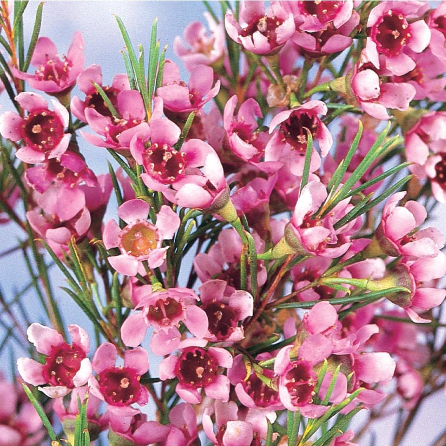 3.25-Gallon Pink Geraldton Waxflower Accent Shrub (L5899)