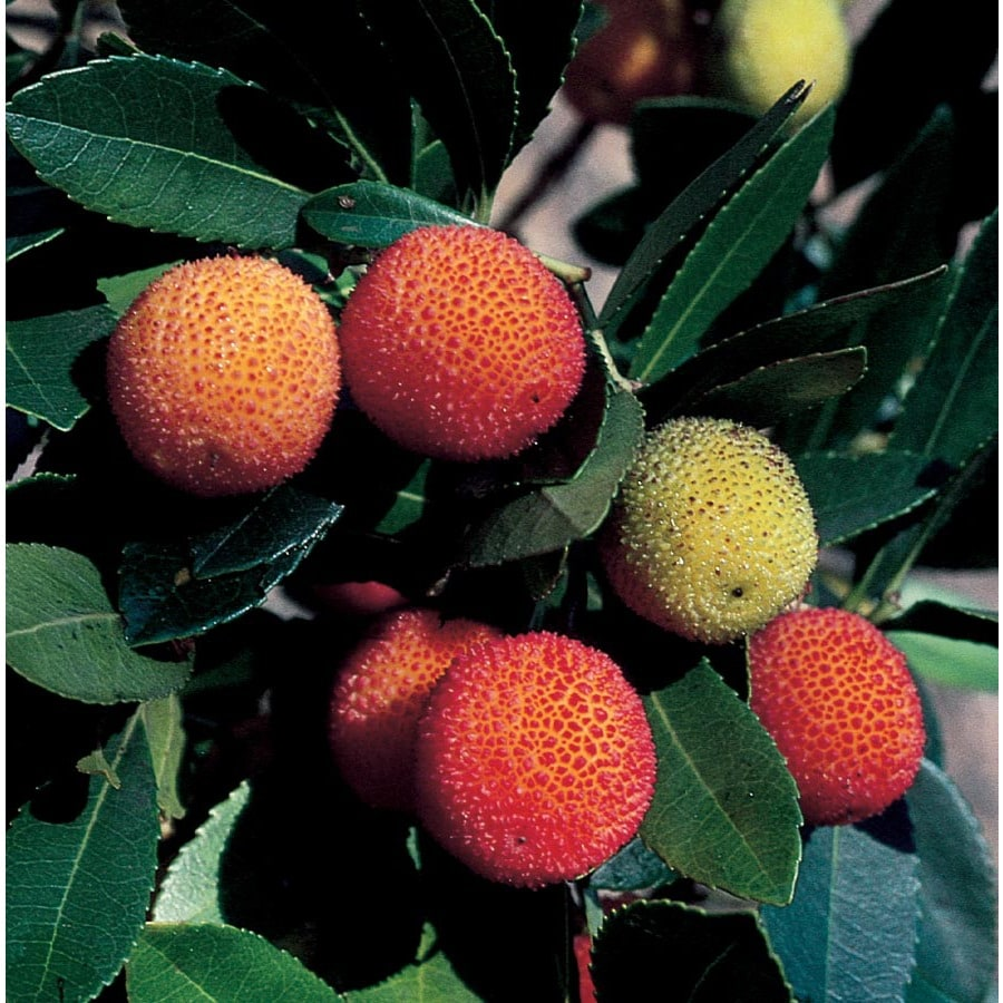 3.25-Gallon Marina Strawberry Tree Feature Tree (Lw02095)
