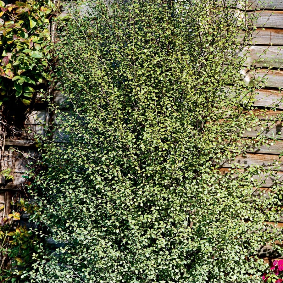 3.25-Gallon Purple Silver Sheen Pittosporum Foundation/Hedge Shrub (L26678)