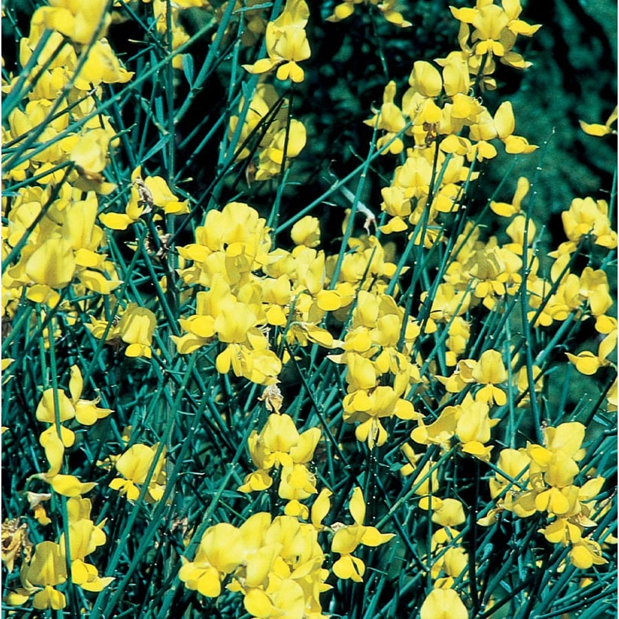 2.5-Quart Yellow Spanish Broom Flowering Shrub (L5956)