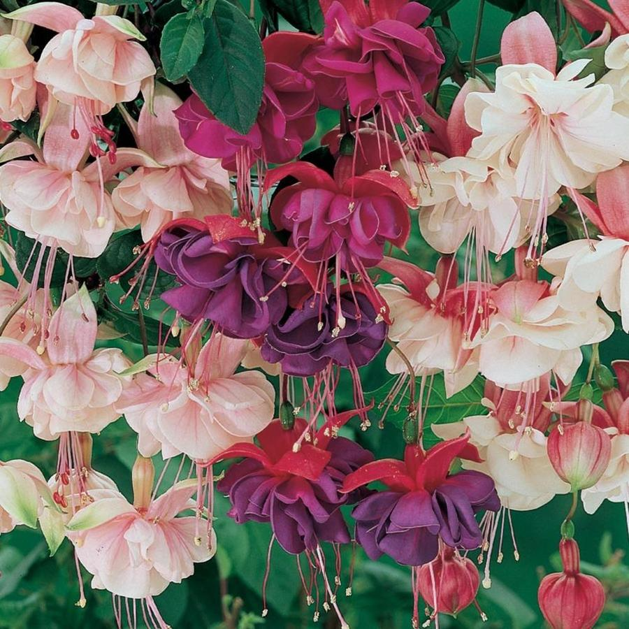 3.58-Gallon Temporary Fuchsia (L6592)