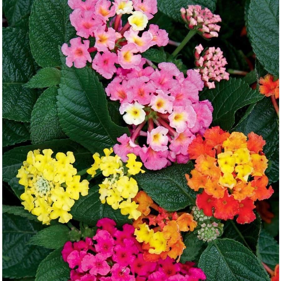 3.58 Gallon Potted Lantana (L6708)