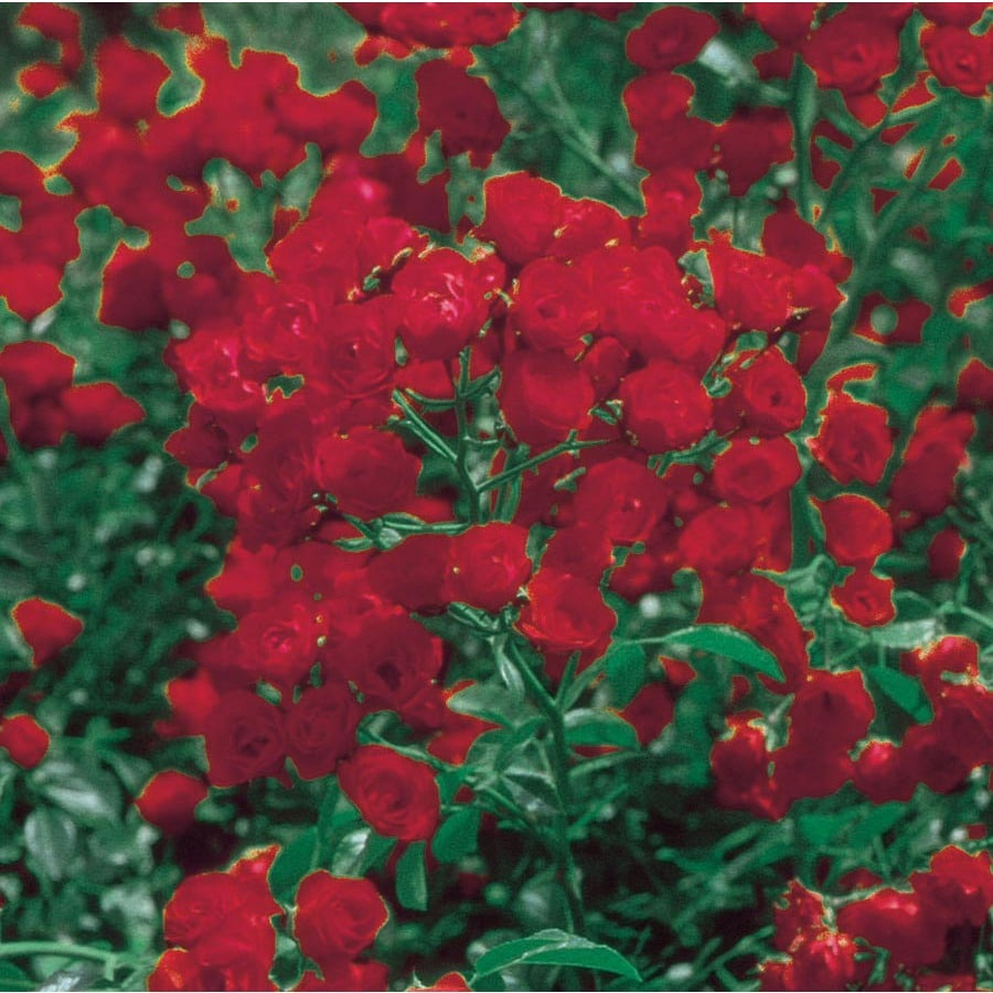 Red Lady Bank S Rose Lw03784 At Lowes Com
