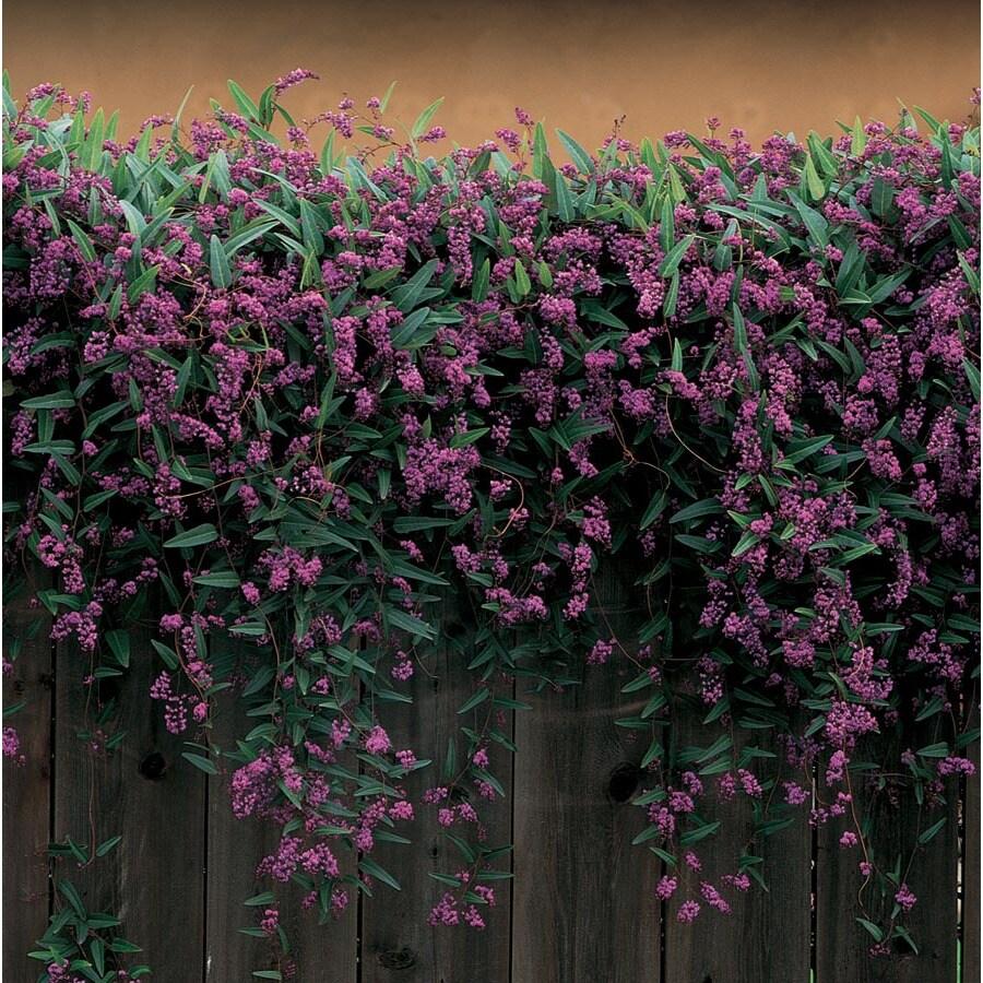 3.58-Gallon Happy Wanderer Vine Lilac (L6317)