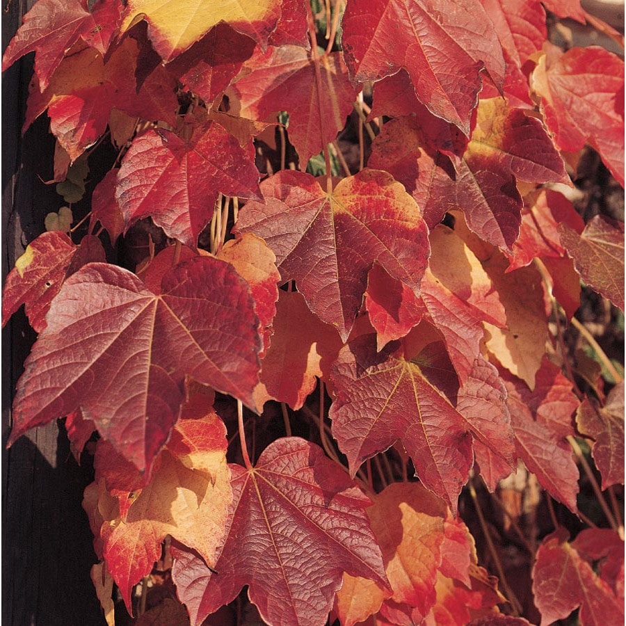 3.58-Gallon Boston Ivy (L5318)