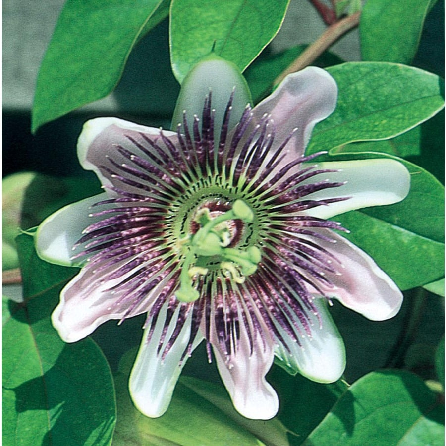 Shop 358 Gallon Purple Passion Flower L9171 At Lowes