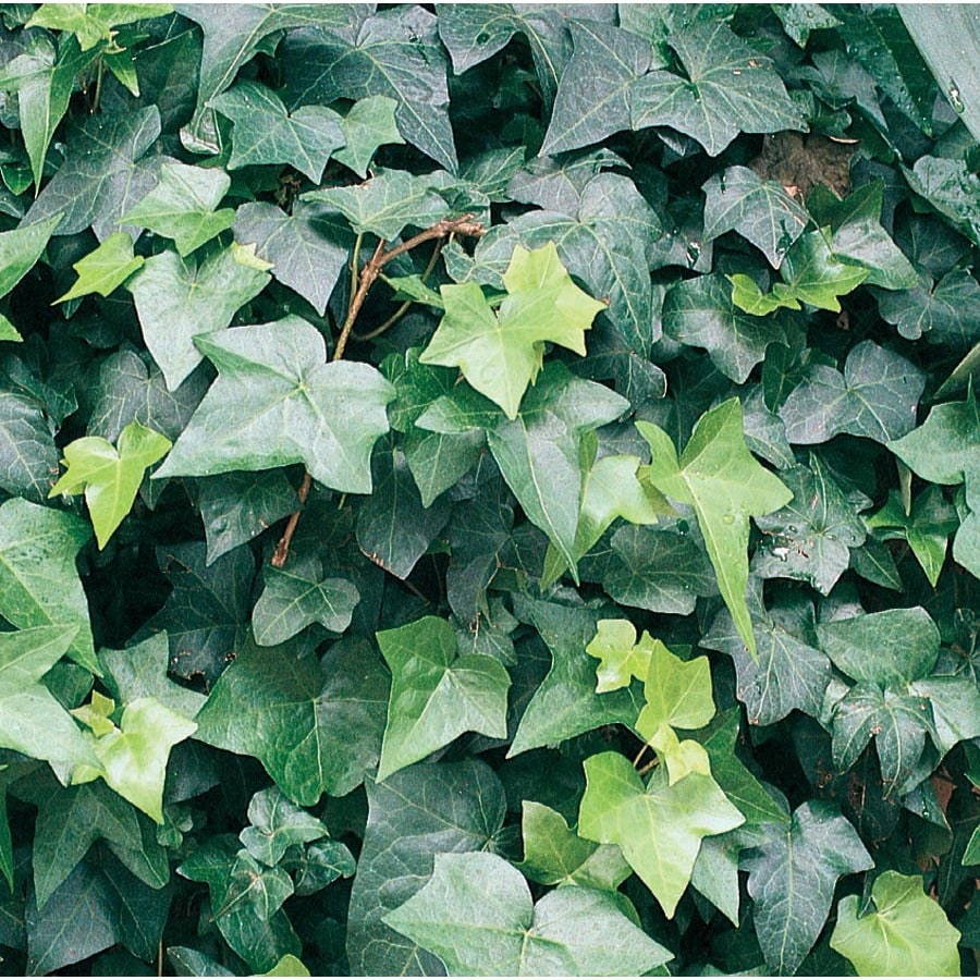 3.58-Gallon English Ivy (L5369Hp)