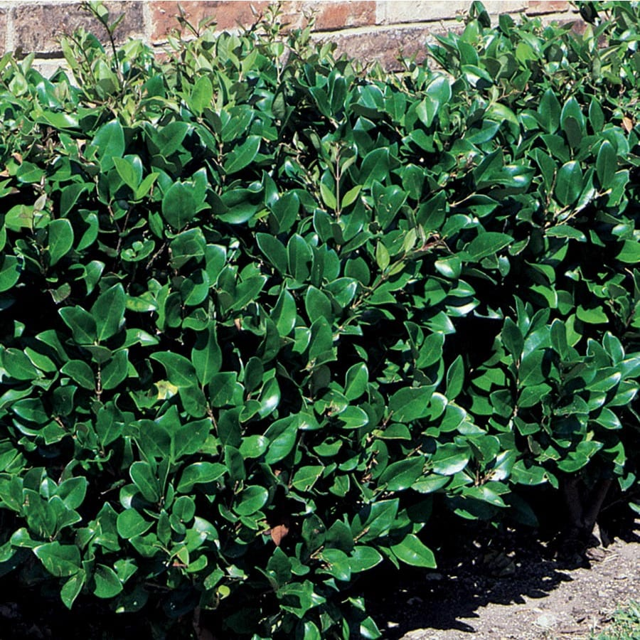 Shop 3 58 Gallon White Glossy Privet Screening Shrub