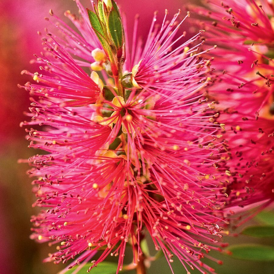 3.58-Quart Pink Hot Pink Bottlebrush Feature Shrub (L27126)