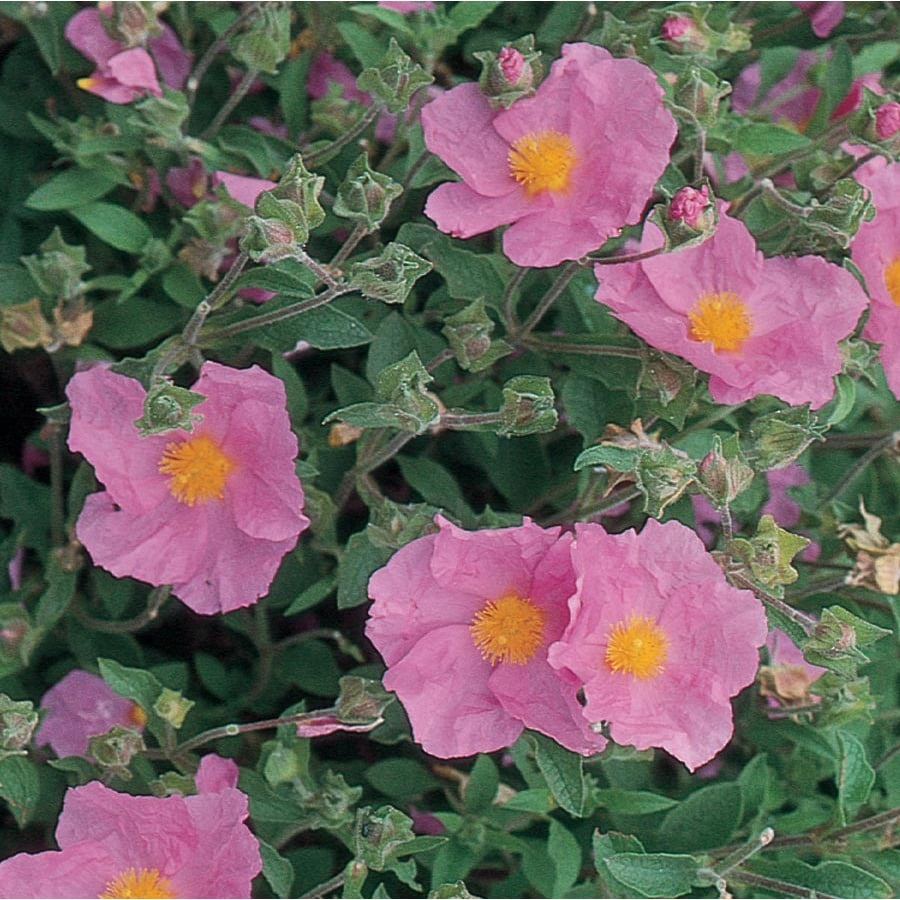 2.5-Quart Pink Rock Rose Accent Shrub (L2450)