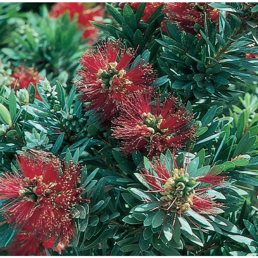 3.58-Gallon Red Little John Dwarf Bottlebrush Accent Shrub (L4657)