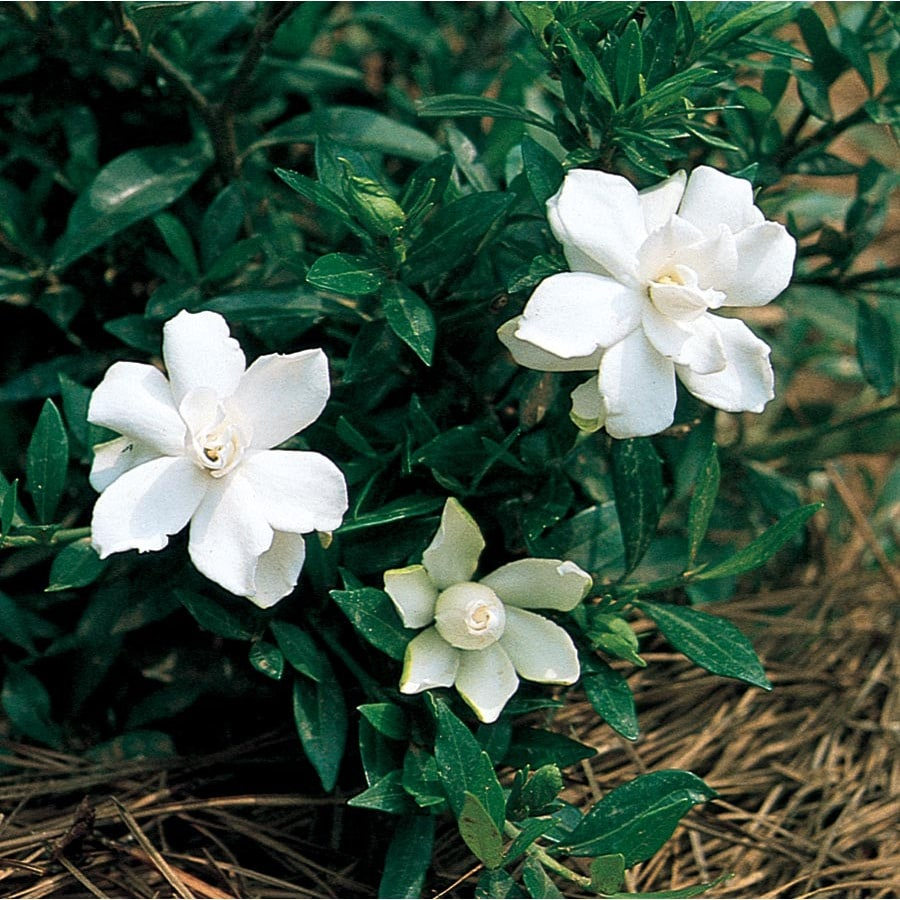 2.5-Quart White Radicans Dwarf Gardenia Flowering Shrub (L5279)