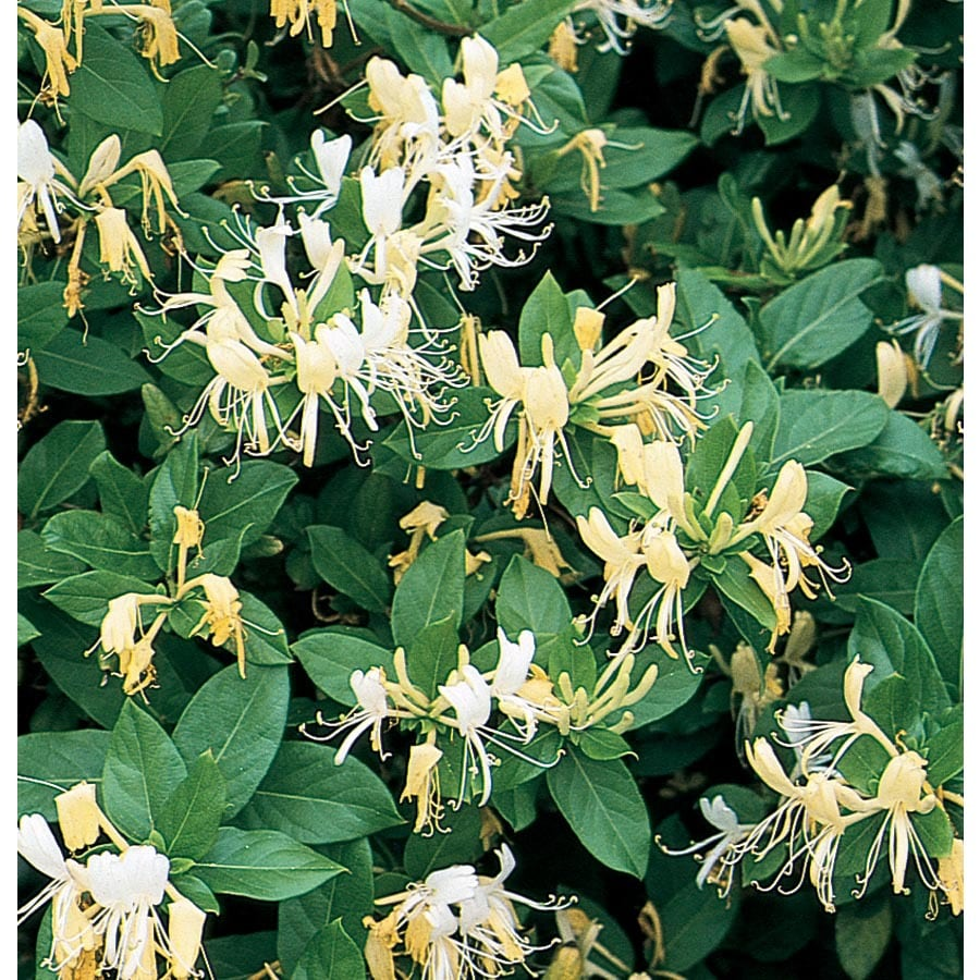 1.7-Gallon Hall's Honeysuckle (L3046)