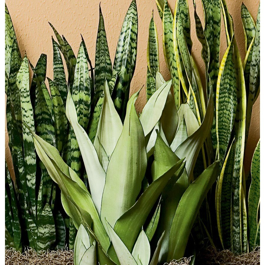 1.7-Gallon Sansevieria (L20970HP)