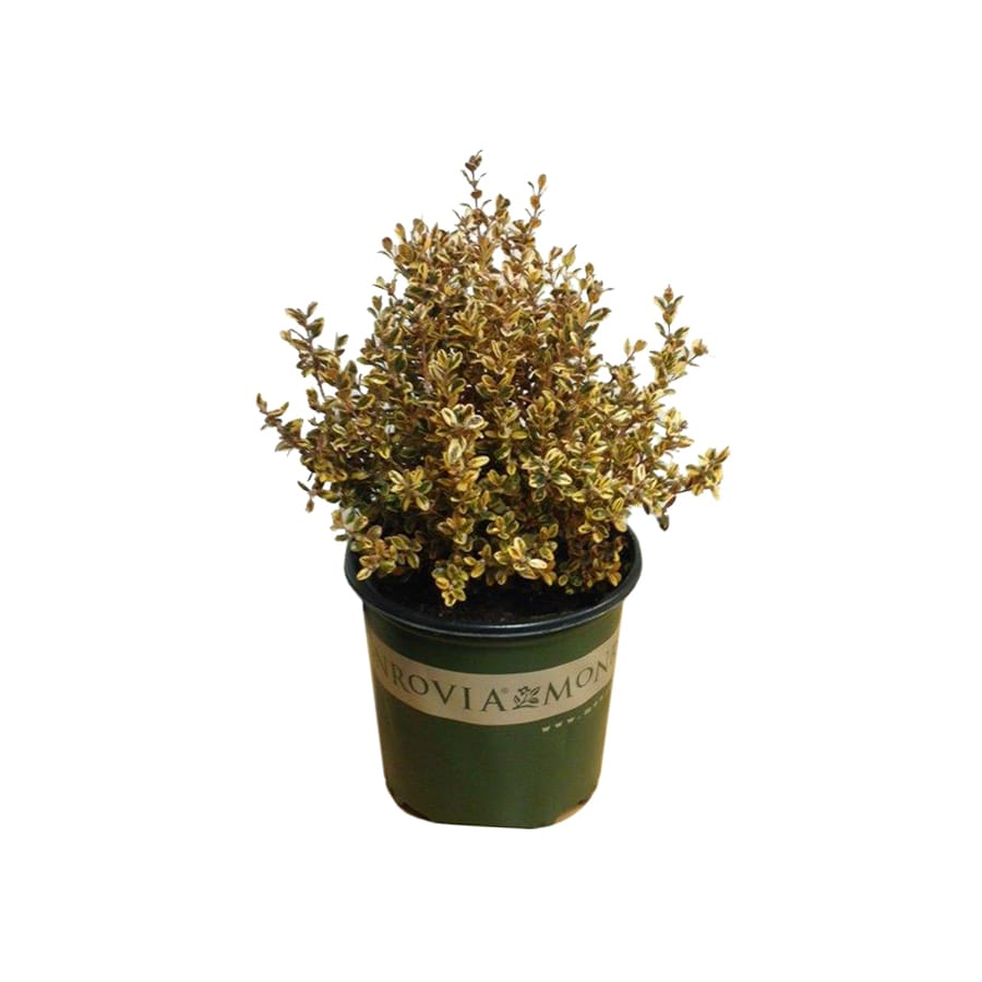Monrovia 1-Gallon Yellow Boxwood Golden Dream Accent Shrub