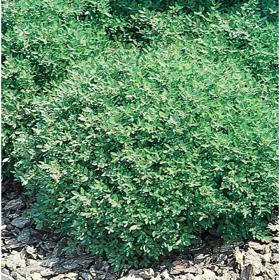2.5-Quart Dwarf Yaupon Holly Foundation/Hedge Shrub (L5286)