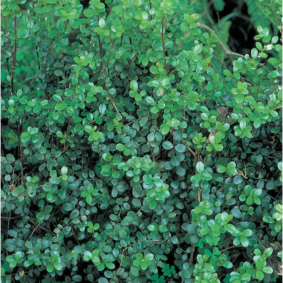 African Boxwood Foundation Hedge Shrub In Pot With Soil