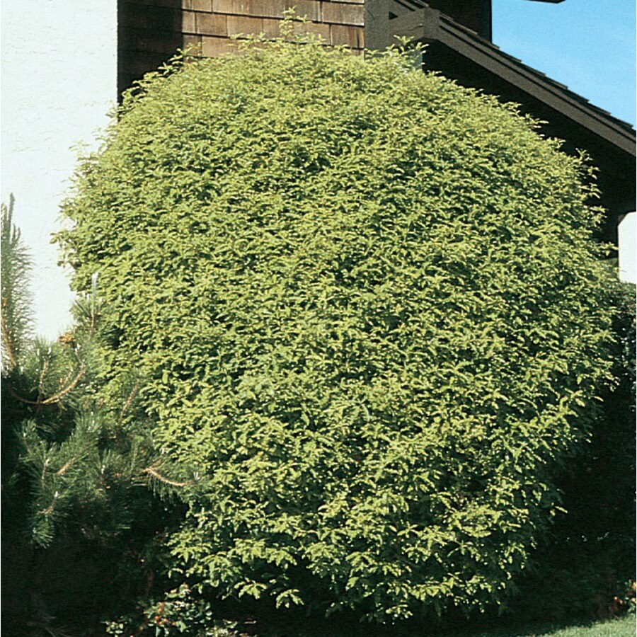 2.5-Quart Yellow Tarata Pittosporum Screening Shrub (L5938)