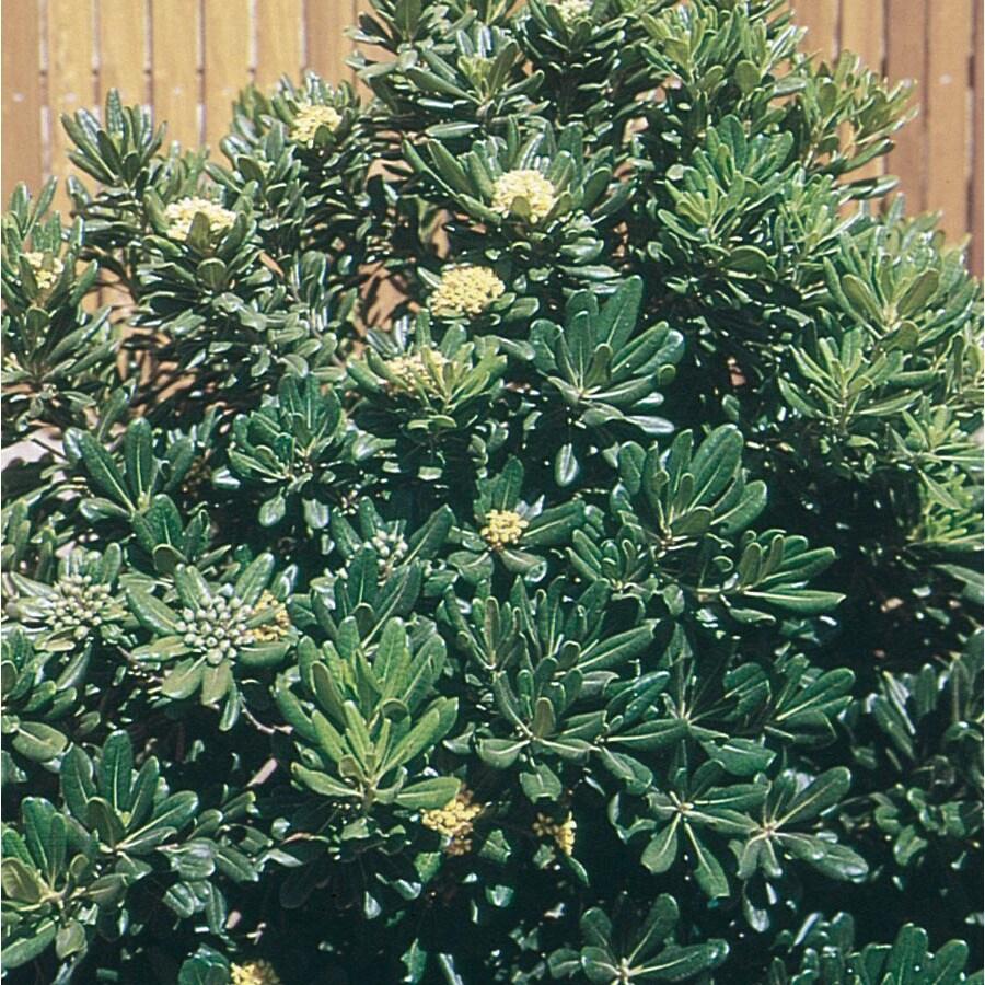 2.5-Quart White Green Pittosporum Foundation/Hedge Shrub (L10905)