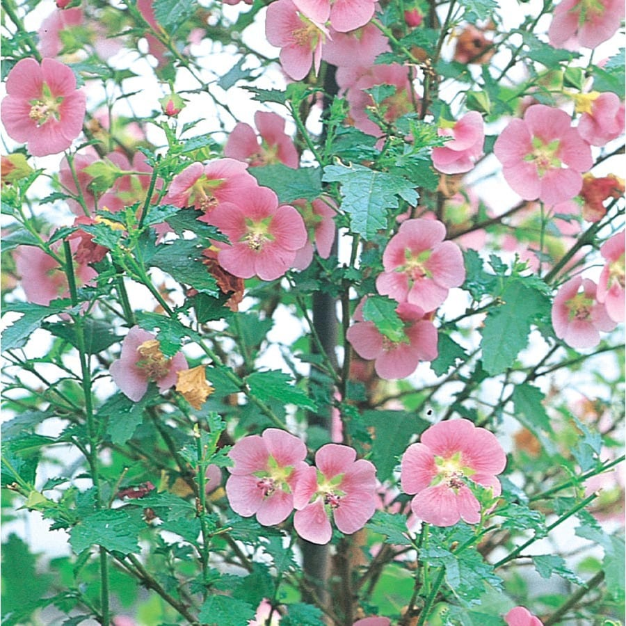 3.58-Gallon Pink Cape Mallow Accent Shrub (L11671)