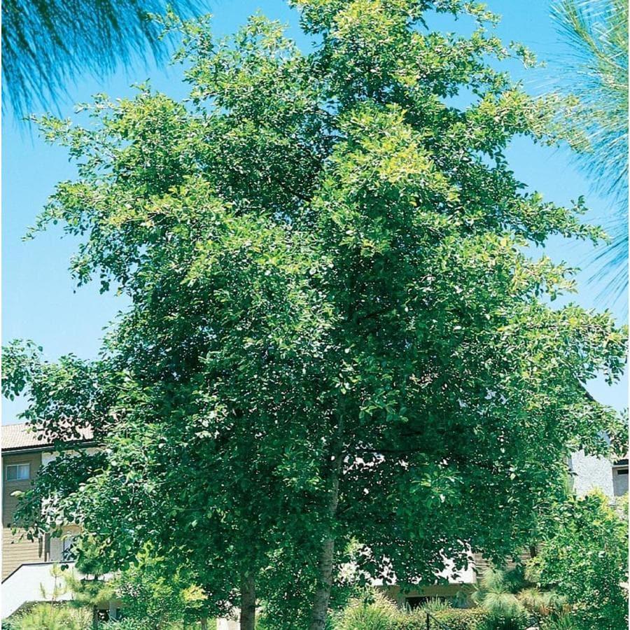 3.58-Gallon White Alder Shade Tree (L14604)