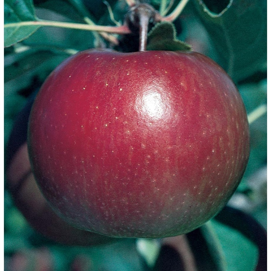 3.58-Gallon Fuji Ultra-Dwarf Apple Tree (L22666)