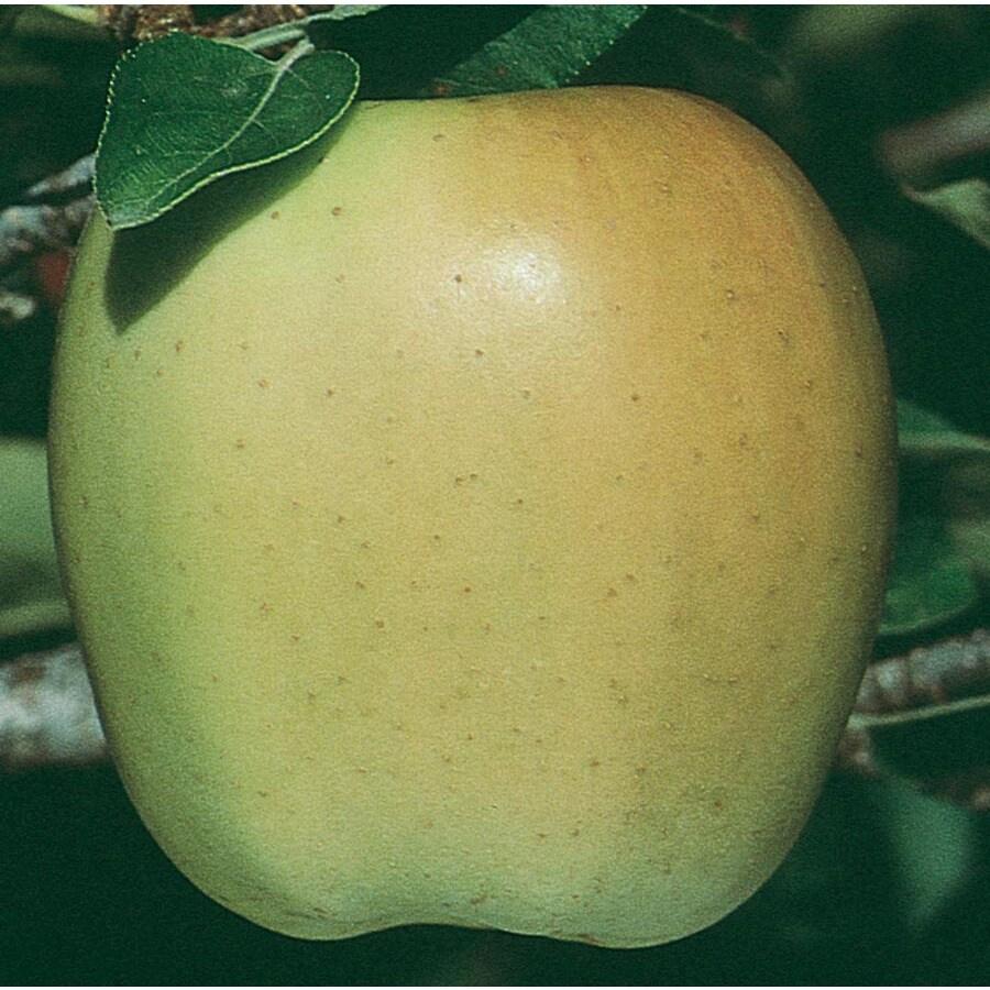 3.58-Gallon Golden Delicious Ultra-Dwarf Apple Tree (L22667)
