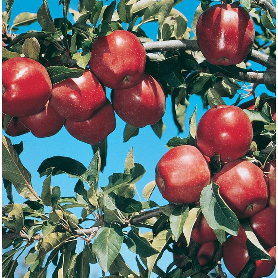 3.58-Gallon Red Delicious Ultra-Dwarf Apple Tree (L22668)