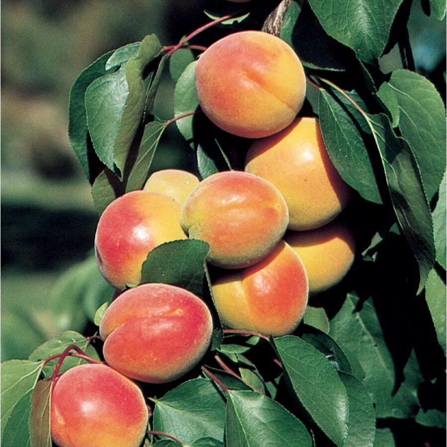 3.58-Gallon Blenheim Ultra-Dwarf Apricot Tree (L22669)