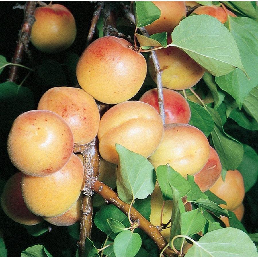 3.58-Gallon Moorpark Dwarf Apricot Tree (L5152)