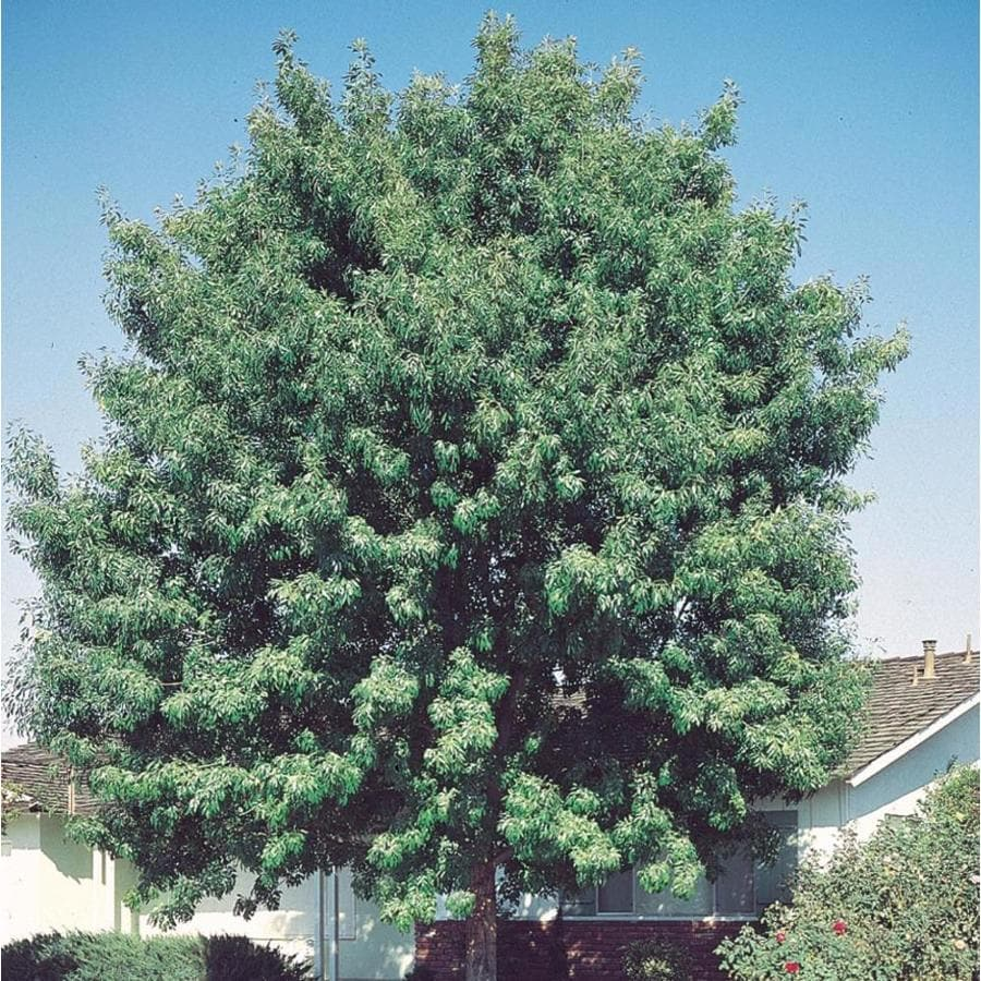 3.58-Gallon Fan-Tex Ash Shade Tree (L1051)