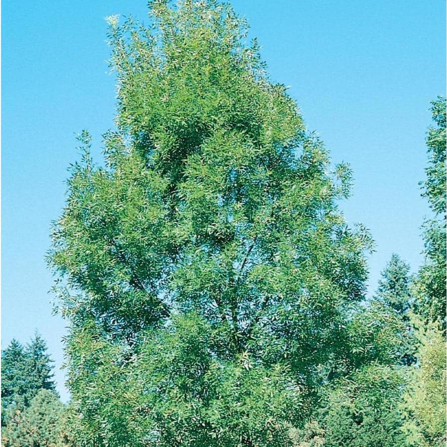 3.58-Gallon Raywood Ash Shade Tree (L3493)