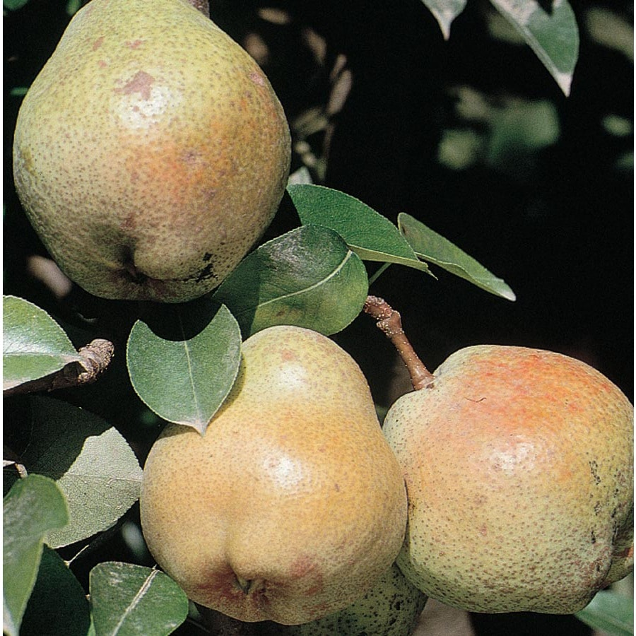 3.58-Gallon Shinseiki Ultra-Dwarf Asian Pear Tree (L22686)