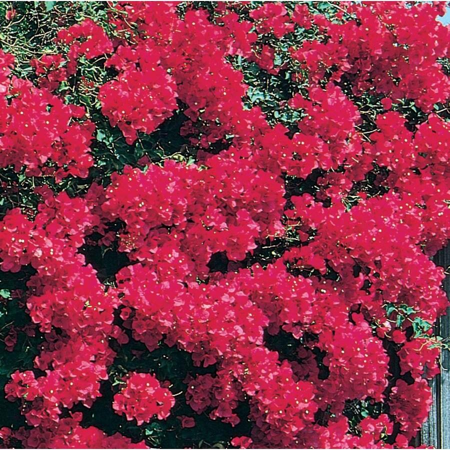 3.58-Gallon Red La Jolla Bougainvillea Flowering Shrub (L3372)