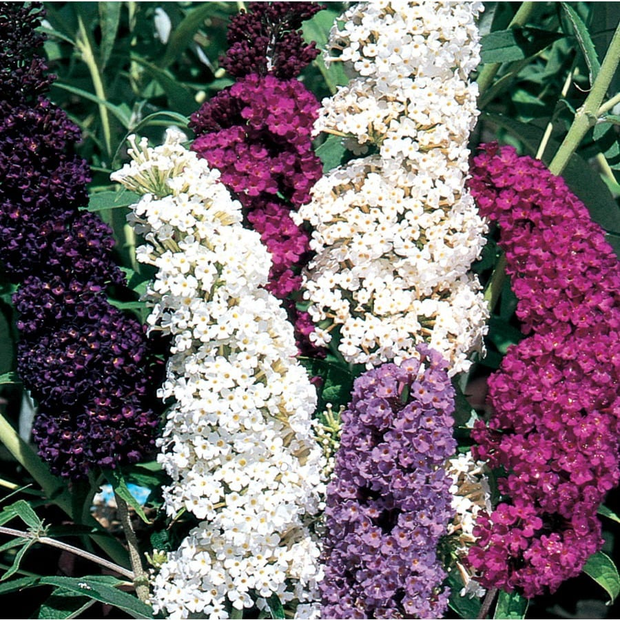 3.58-Gallon Mixed Butterfly Bush Flowering Shrub (L8073)