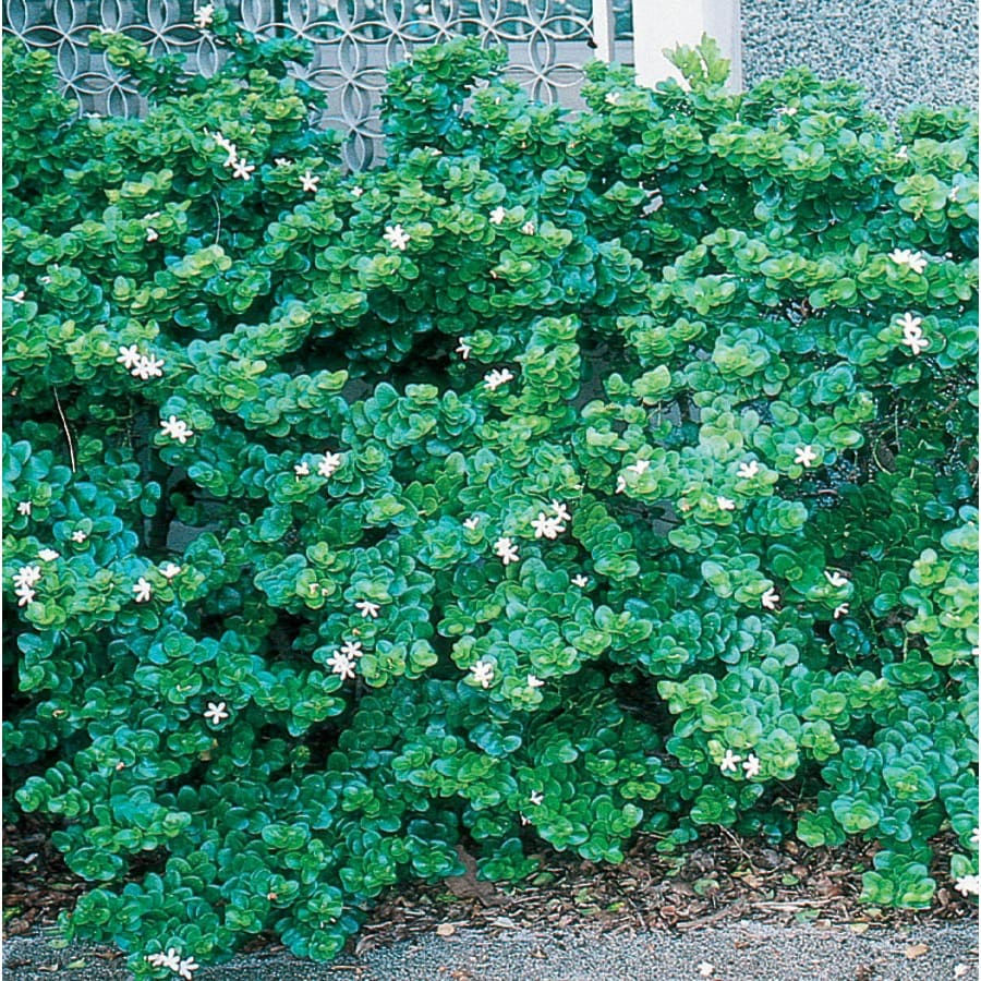 3.58-Gallon White Boxwood Beauty Natal Plum Foundation/Hedge Shrub (L7491)