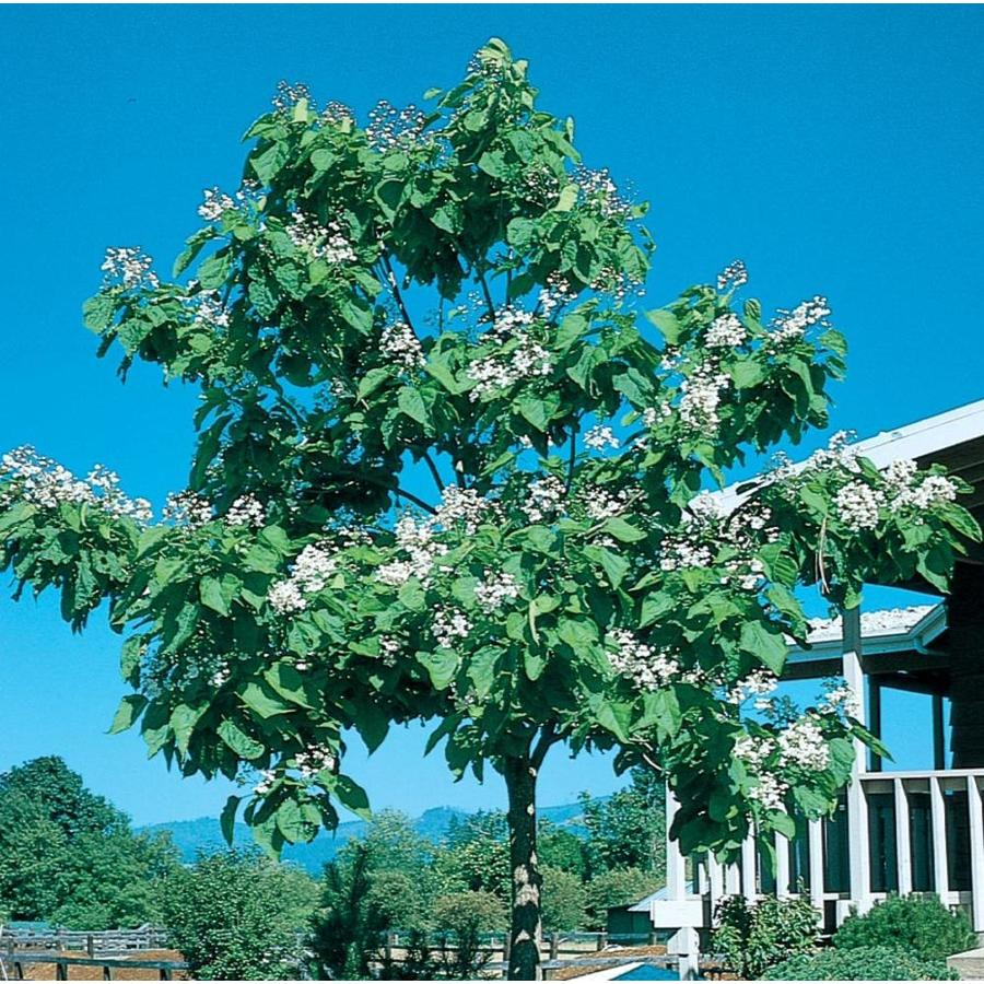 3.58-Gallon Western Catalpa Flowering Tree (L7405)