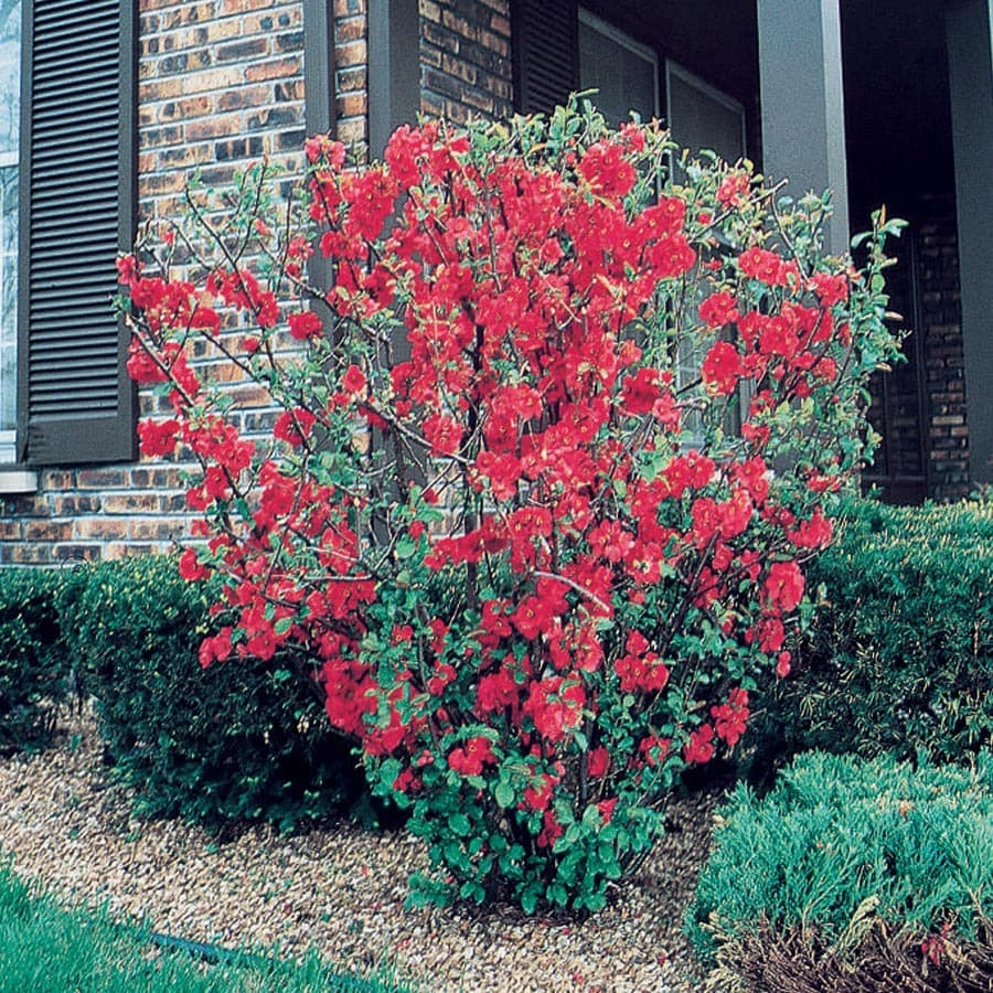 3.58-Gallon Red Red Flowering Quince Flowering Shrub (L1217)
